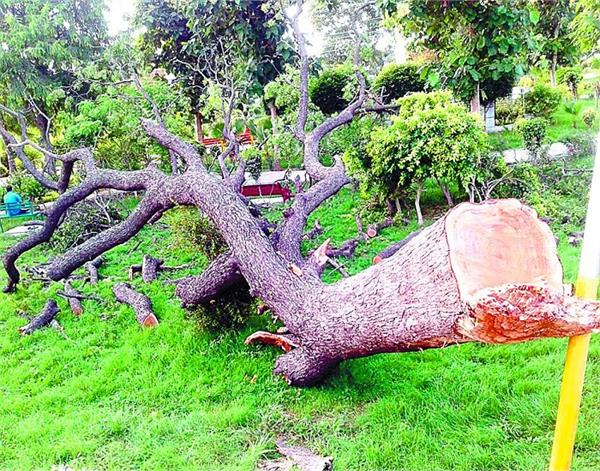 five decade old trees of neem trees were cut off