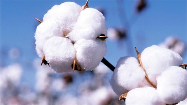 Centre Government boosted cotton Bt seed
