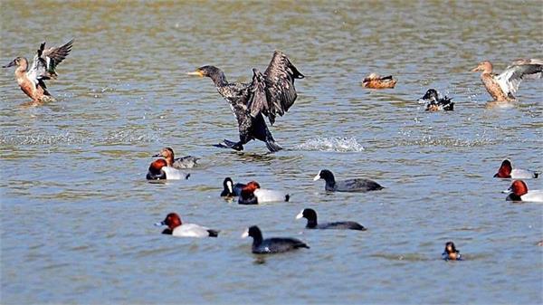 punjab  bird flu  harike bird sanctuary  birds  samples