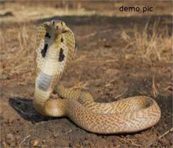 migrant laborer poisonous snake three children faridkot