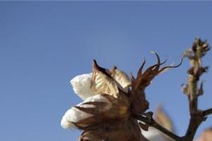 cotton price crossed the msp