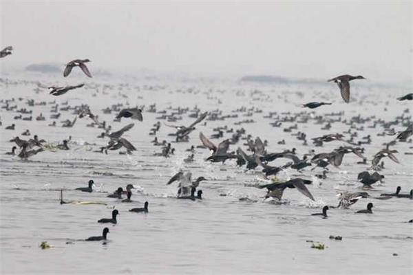bathinda  harike wetland  high alert  rajasthan  birds  death