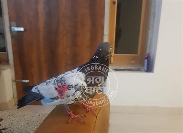 pakistan pigeons