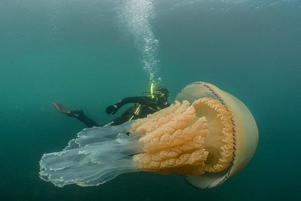 england  one and a half meter long jellyfish