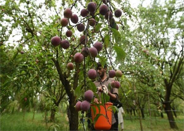 jammu kashmir fruits farmers
