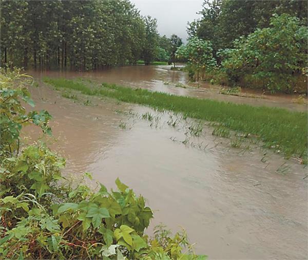 satluj river crops destroyed