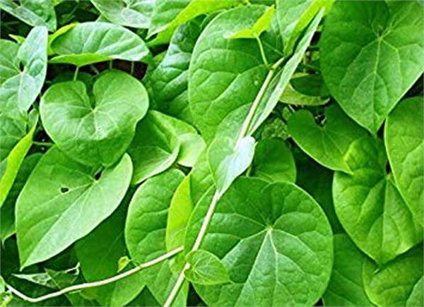 giloy plant health benifits