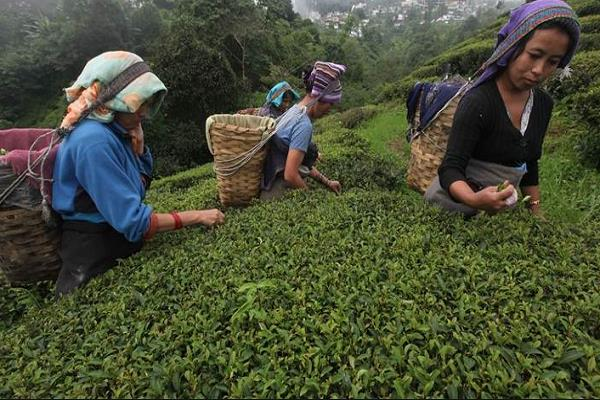 assam s 170 year old tea industry plagued by economic depression