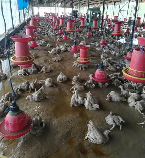 floods  poultry farms