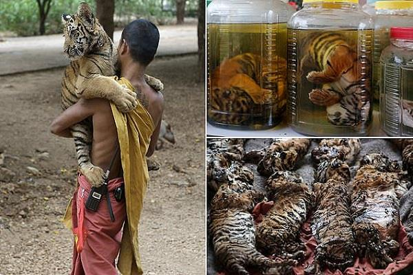 thailand  dozens of tigers killed