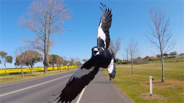 1 killed in australia bird attack