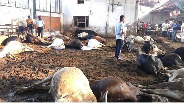 33 cows died in suspected condition 15 in critical condition