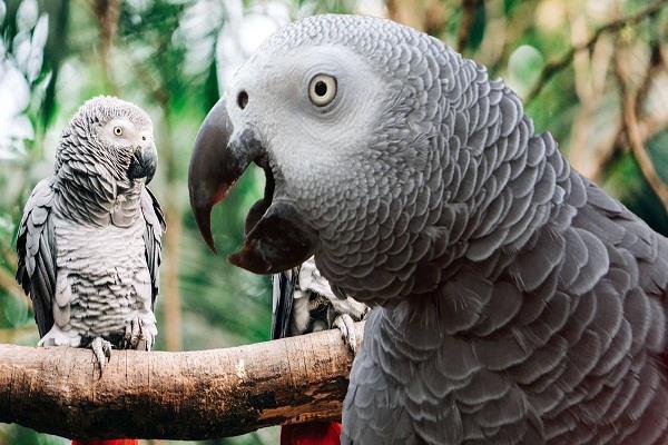 britain five parrots
