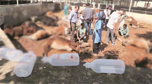 80 cows die in mansa devi gaudham