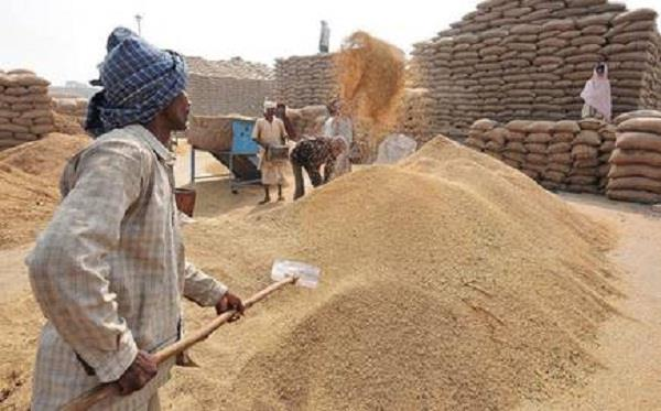 paddy arrivals in punjab reach 57 52 lakh metric tonnes