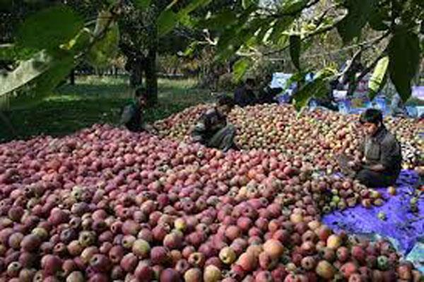 kashmiri delicious apple is ready to knock in the market
