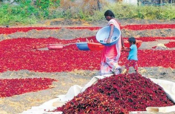 maharashtra red chilli prices turn hot