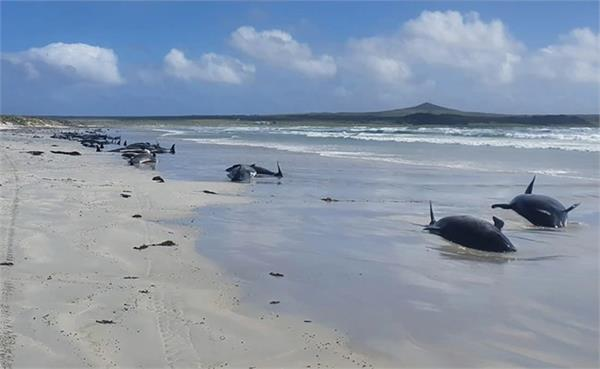 nearly 100 whales dead in new zealand