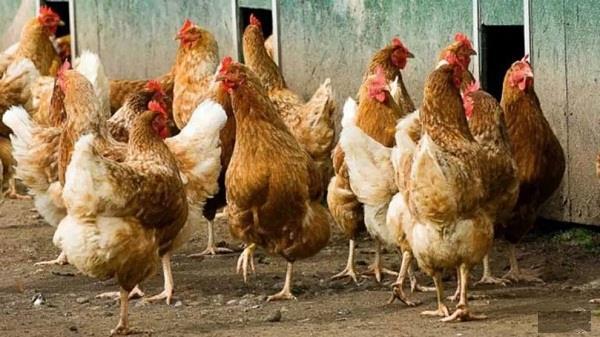 japan bird flu