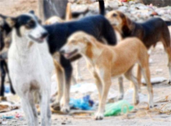 increasing terror of stray dogs in zirakpur