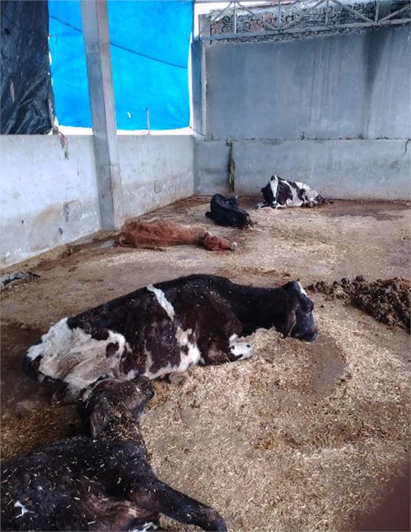kamalpur cows  death