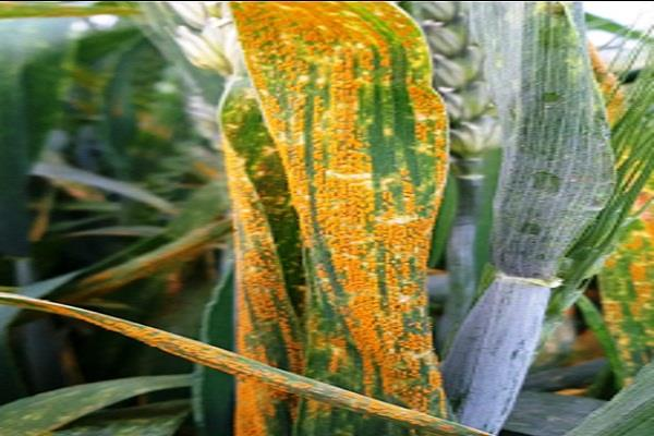 wheat crop inspection is essential to prevent yellowing