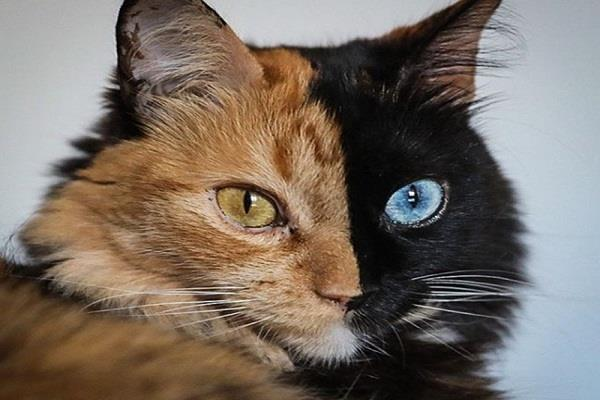 argentina  two faced cat