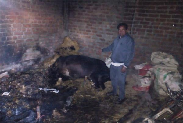 2 cows killed by fire