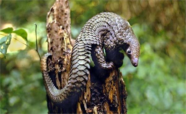 confirmation of virus matching covid 19 in pangolin