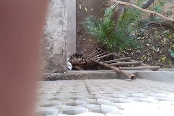 leopard in chandigarh