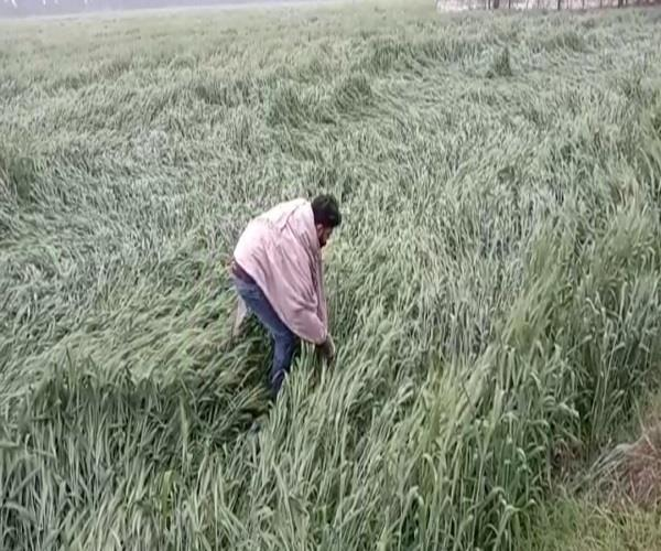 untimely rain farmers upset