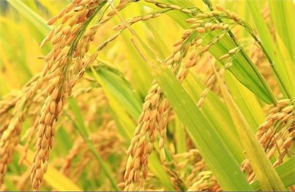pusa 44 paddy variety is banned