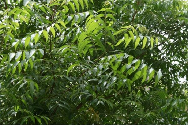neem nature gifts