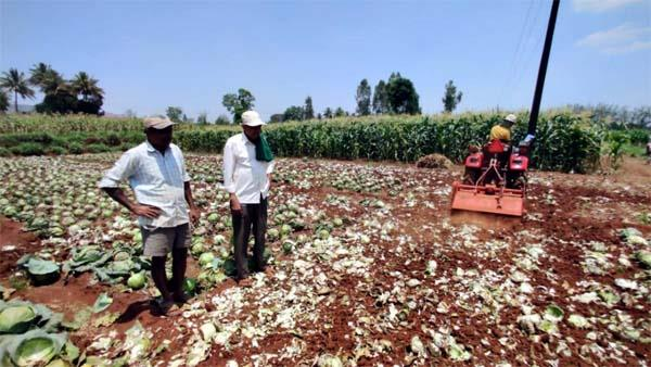 farmer razes 1 acre cabbage crop as prices tank amid lockdown