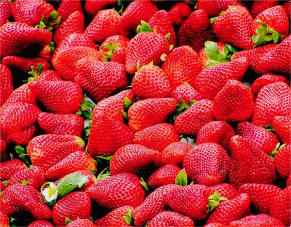 spain  s   strawberries   in a state of sleep without migrant workers