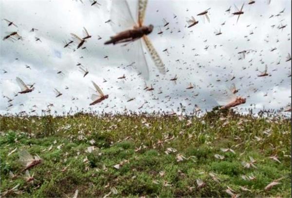 locust swarm jalandhar administration