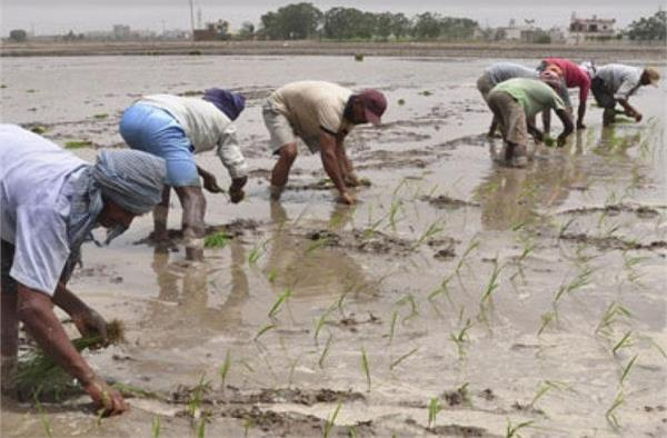 paddy  direct sowing  employment