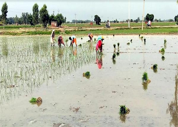punjabi laborers sri muktsar sahib paddy fields