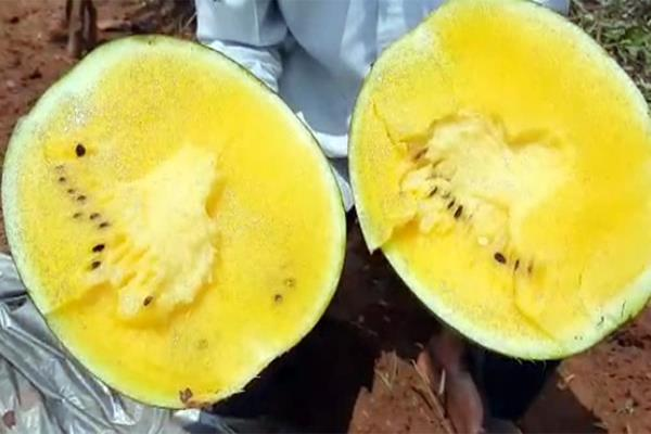 jharkhand farmer grows unique watermelons