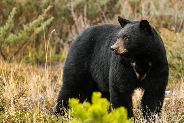 10 year old girl bitten by bear in metro vancouver