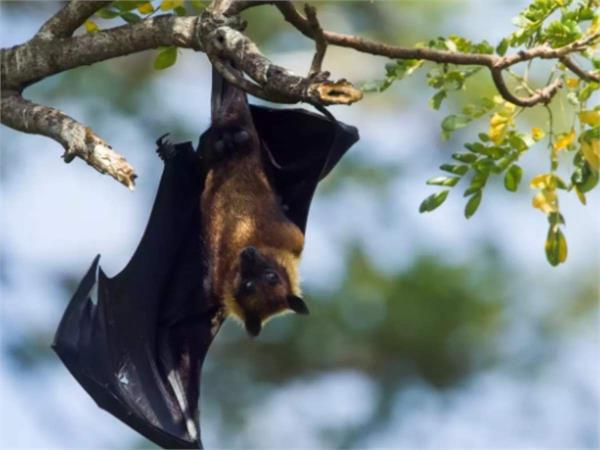 understanding bat immune  may help identify new covid 19 drug targets