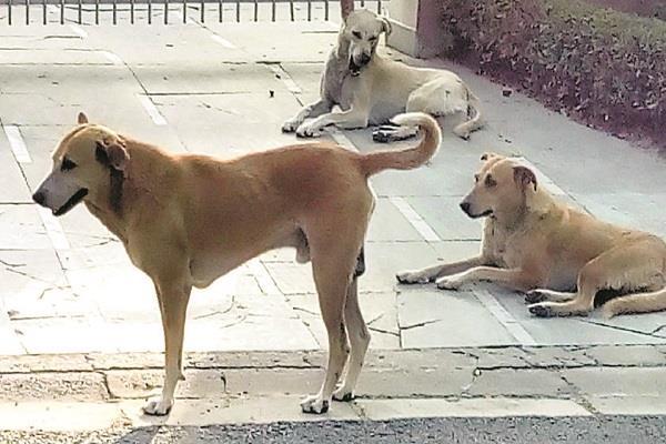 stray dogs in moga