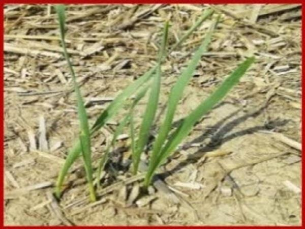 directly sown paddy nadeen dont worry