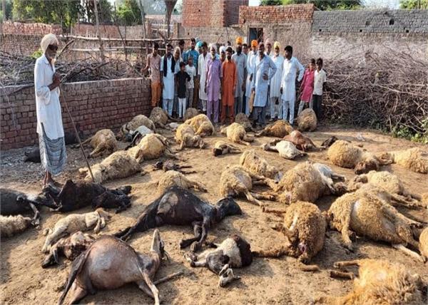 stray dogs  biting  death  sardulgarh goats