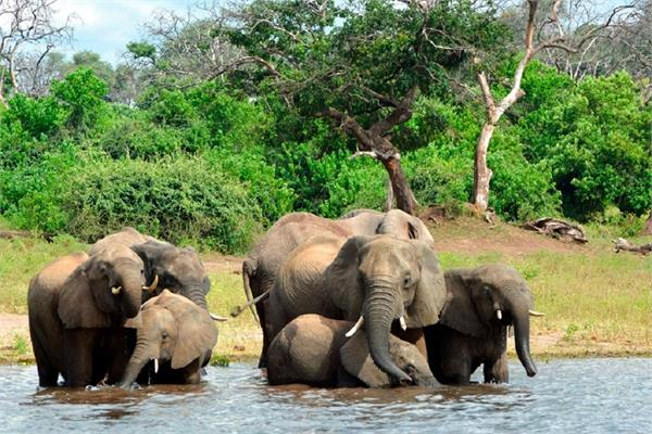 in last 3 months  360 elephants have died in botswana  killing the bacteria
