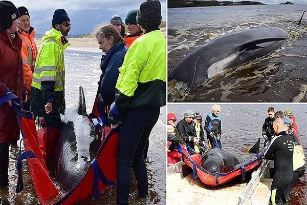 australia  pilot whales