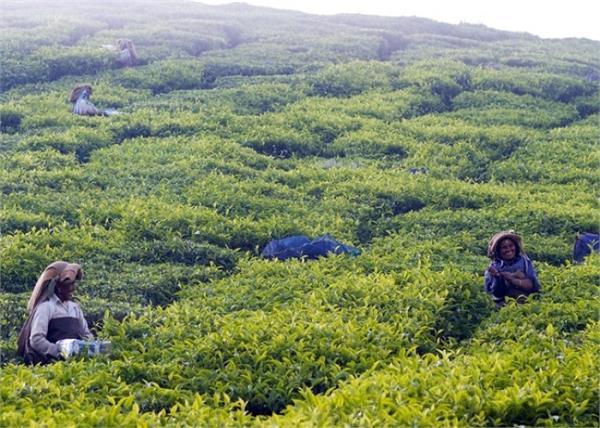 covid 19 lockdown indian market nepal tea price