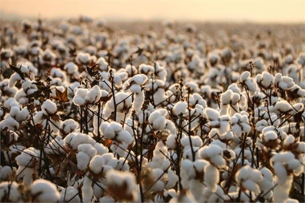 cotton crop low prices farmers faces sadness