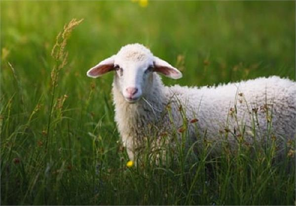 j k govt launches isd scheme sheep goat units