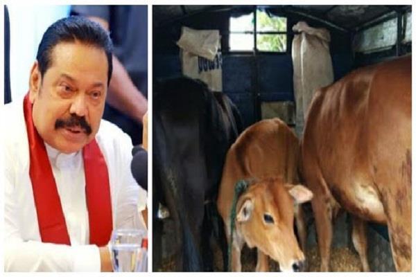 sri lankan government  cattle slaughter